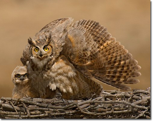 Cute baby great horned owl