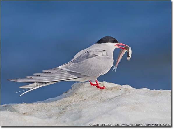 Birds In The Tundra Serious  bird and natureTundra Birds